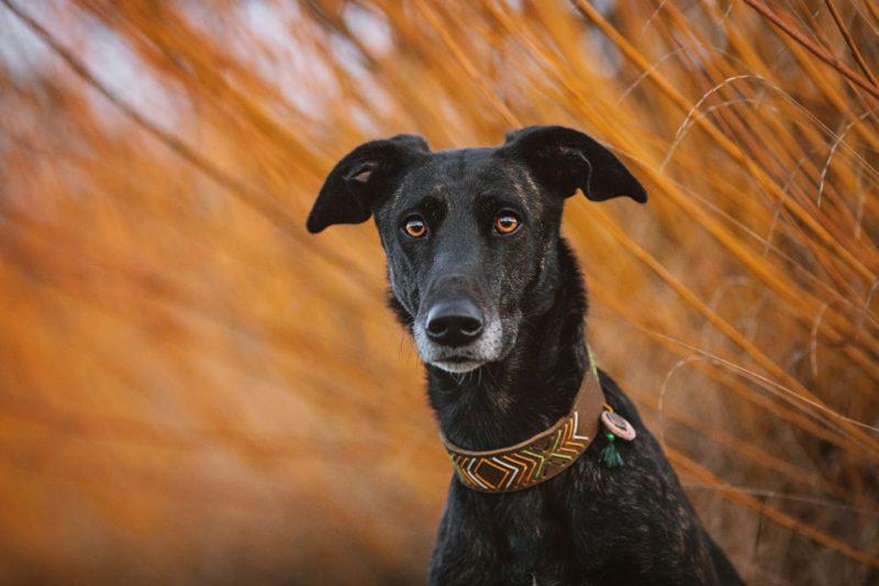 Windhund Halsband aus weichem Fettleder in oliv mit ethno muster